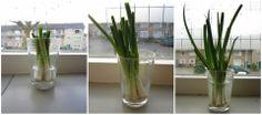 Wist je dat je eigenlijk maar 1x in je leven lente uitjes hoeft te kopen? Bewaar 3 cm van de onderkantjes en zet deze in een bodempje water voor het raam. Binnen 10 dagen heb je weer nieuwe lente uitje. Handig, grappig en lekker goedkoop!