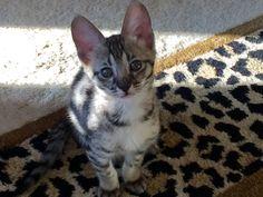 Savannah Kitten, Savannah Chat, Kittens, Cats, The Incredibles, Animals, Cute Kittens, Gatos, Animales