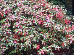 PJM rhododendron - Fall foliage color