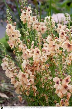 Perennials Verbascum 'Jackie' is a compact. drought tolerant perennial for full sun that produces spires of peach to apricot colored blooms over a long period spri. Full Sun Perennials, Flowers Perennials, Planting Flowers, Flowering Plants, Full Sun Flowers, Full Sun Plants, Summer Flowers, Boarder Plants, Drought Tolerant Landscape