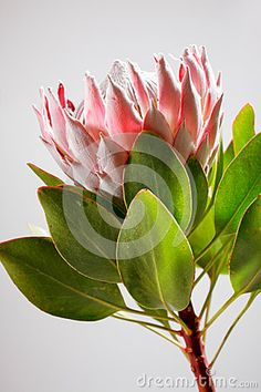 Photo about Side view of one pink King Protea Flower with leaves. Image of background, side, color - 51396126 Rare Flowers, Pink Flowers, King Protea, Protea Flower, Pottery Classes, Underwater World, Wall Murals, Different Colors, Art Projects