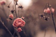 a late autumn rose. sometimes its the flowers that bloom last that are the most breathtaking.