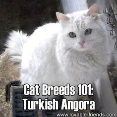Cat Breeds 101: Turkish Angora! ►► http://www.lovable-friends.com/cat-breeds-101-turkish-angora/?i=p