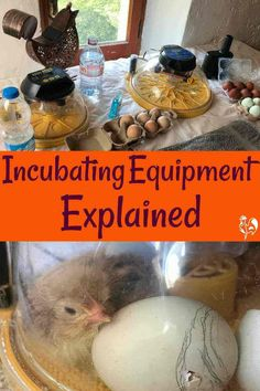 Incubating equipment for incubating chicken eggs fully explained: pin for later. Incubating Chicken Eggs, Raising Meat Chickens, Fermented Foods, Preserving Food, Chickens Backyard, Food Storage, Poultry, Homesteading, Articles