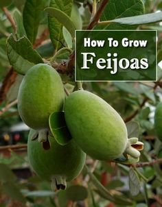 How To Grow Feijoas from seed - taste like pineapple guavas. Strawberry Guava, Guava Fruit, Growing Fruit Trees, Growing Tree, Flower Gardening, Vegetable Gardening, Garden Trees, Trees To Plant, Pineapple Guava Tree