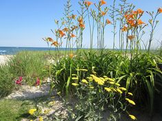 Daylilies and Yarrow at Blue Water Riviera Resort Cape Cod, MA
