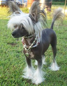Bare Love Chinese Crested Sphynx | GALLERY