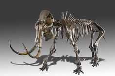 Online veilinghuis Catawiki: Mammoet (Mammuthus primigenius) - 4.10 x 1.20 x 2.20 m