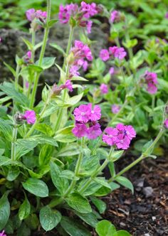 Silene 'Clifford Moor' is a nice variegated cultivar with green leaves flecked in cream. Small magenta-pink flowers appear in spring. Silene 'Clifford Moor' prefers sun to light shade. Normal, sandy and clay soil all work well for Silene. Height: 30-45 cm (12-18 inches), Spread: 38-45 cm (15-18 inches) USDA Zones: 5-11