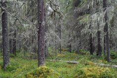 Naavakuusikko - kuusikko maapuu naava vanha metsä luonnontilainen havumetsä…