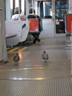 These pigeons don't pay for MUNI either...