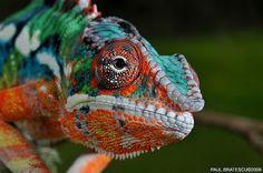 Chameleon by Paul Bratescu aka AnimalExplorer via Flickr