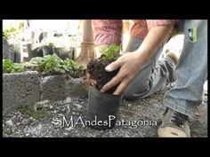 En ésta entradaSantiago deVivero Ecoplantnos va a enseñar la multiplicación de frutillas por estolones. También nos explica que se debe hacer, si se desea obtener más plantas o que la frutilla dé más frutos.http://www.jardinesyhuertas.com.ar/