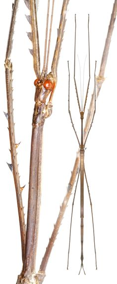 Ctenomorpha gargantua. A stick insect from Northen Australia, C. gargantua is one of the largest insects in the world. Dorsal view, close up.