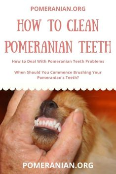How to Clean Pomeranian Teeth. How to brush Pomeranian teeth. How to Deal With Pomeranian Teeth Problems. When to Start Brushing Your Pomeranian's Teeth? Pomeranian Haircut, Pomeranian Facts, Pomeranian Puppy, Cute Little Puppies, Dogs And Puppies, Best Toothpaste, Dog Cleaning, Puppy Food, Dog Food