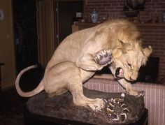 Another great one! #lion #taxidermy #headsofstate