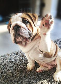High five! #dogs #pets #animals #english #bulldog #puppy