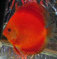 http://www.macsdiscus.com/Red-Ruby-Discus.html#  Red Ruby Discus, Mac's Discus, Discus Fish Breeder