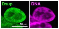 研究グループは、強い放射線を浴びても生き残れるヨコヅナクマムシのゲノム配列を分析し、放射線からDNAを守る働きがある新しいたんぱく質を発見。「Dsup」(Damage Suppressor)と名付け、ヒトの培養細胞に組み込んだ。