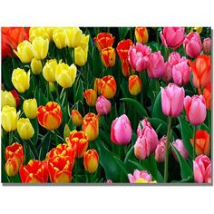 Trademark Art Multi-Colored Tulips Canvas Art by Kurt Shaffer, Size: 22 x 32, Multicolor