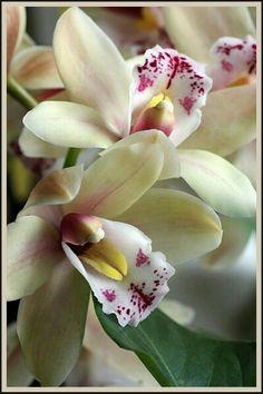 Douces orchidées