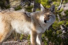 Coyote, Yellowstone National Park, Wyoming (pinned by haw-creek.com)