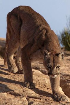 Mountain lion ( by Walter Nussbaumer). Full credits to u/ Dodecahedron7 Funny Cat Videos, Funny Cat Pictures, Animal Pictures, Big Cats, Cute Cats, Funny Cats, Beautiful Cats, Animals Beautiful, Pumas Animal