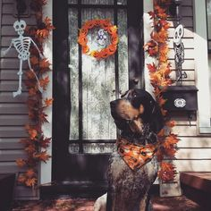 Halloween decor and a Bluetick coonhound @drgibsonmd
