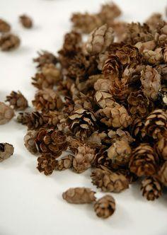 Hemlock Pine Cones