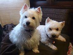 Delphi West Highland White Terrier | Pawshake Engsbergen