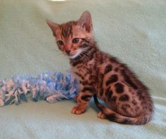 CocoBana Bengal Babies | Bengal Cats Bengals Illustrated Directory
