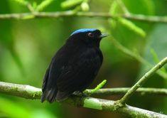 4513. Blue-crowned Manakin (Lepidothrix coronata)   Bolivia, Brazil, Colombia, Costa Rica, Ecuador, Panama, Peru, Venezuela