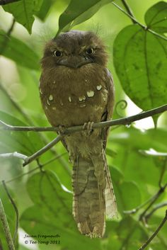 Javan Frogmouth.  Love that expression! <3