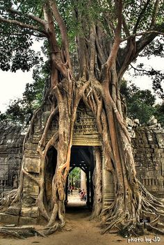 The traveller's first glimpse of Angkor Wat, Cambodia, the ultimate expression of Khmer genius, is simply staggering and is matched by only a few select spots on earth such as Macchu Picchu or Petra. Angkor Vat, Cambodia Travel, Unique Trees, Fig Tree, Medan, Asia Travel, Fun Travel, Solo Travel, Abandoned Places