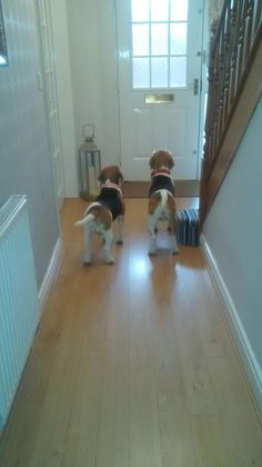 Are you interested in a Beagle? Well, the Beagle is one of the few popular dogs that will adapt much faster to any home. Whether you have a large family, p Cute Beagles, Cute Puppies, Cute Dogs, Dogs And Puppies, Doggies, Awesome Dogs, Baby Beagle, Beagle Puppy, Adoptable Beagle