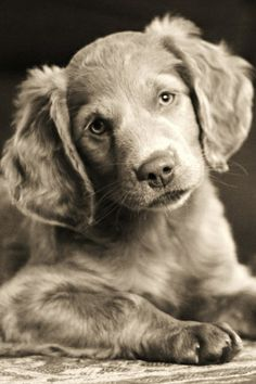 Huntley's future play mate - Long Haired Weimaraner
