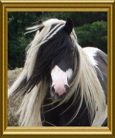 Vanner Gypsy Horse