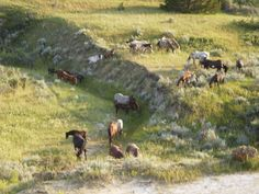 Teddy Roosevelt National Park in North Dakota has wild horses!