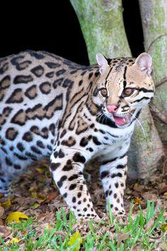 Ocelot  /http://www.pinterest.com/corinnadejong7/wild-cats/