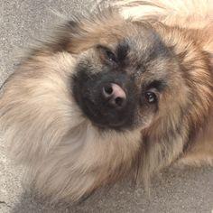 Cutest Pomeranian chihuahua EVER!