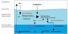 Nitrogen cycle - Wikipedia, the free encyclopedia Trophic Level, Nitrogen Fixation, Nitrogen Cycle, Carbon Cycle, Organic Molecules, Marine Ecosystem, Marine Environment, Water Cycle