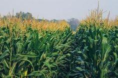 Bio: Alternative Ackerkulturen. Ertraglich ist bei Mais der Sprung zwischen Populationssorten und Hybriden derzeit noch groß. Foto: Pames/shutterstock.com Alternative, Herbs, Plants, Herb, Flora, Plant, Spice
