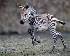 Baby Zebra                           | Cutest Paw