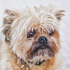 This is Charlie and he's one of the sweetest little dogs I've met. He's a Griffon Bruxellois or Brussels Griffon which is a breed of toy dog, named for their city of origin: Brussels, Belgium. The Griffon Bruxellois may refer to three different breeds, the Griffon Bruxellois, the Griffon Belge and the Petit Brabançon. Identical in standard except for coat and colour differences, in some standards they are considered varieties of the same breed.
