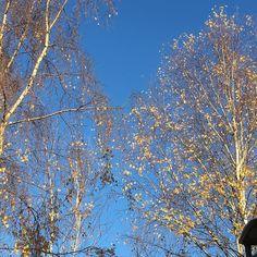 Silver birch branches. #tree #urbangarden #urbangardenersrepublic #instasky #instatree #bluesky #skyporn #trees #treeporn #treestagram #treestalking #treelovers #treepose #england #englishwinter #winter #winterdays #winterday
