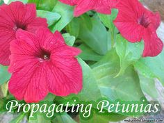 How To Propagate Petunias From Cuttings Petunias are an essential addition to hanging baskets. Their bright colours and ease-of-care also make them great for any gardener to brighten up their flowerbeds. Container Gardening Vegetables, Succulents In Containers, Container Flowers, Container Plants, Vegetable Gardening, Petunia Care, Petunia Plant, Hanging Plants, Hanging Baskets