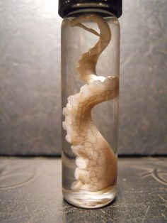 Single Squiggle Octopus Tentacle Wet Specimen Taxidermy 2