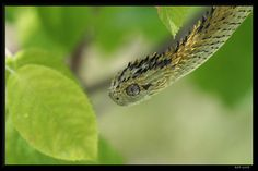 hairy bush viper? Am I the only one who thinks this is a dirty joke? he looks spiny not hairy. hairy bush-viper-is this a synonym for women? LOL