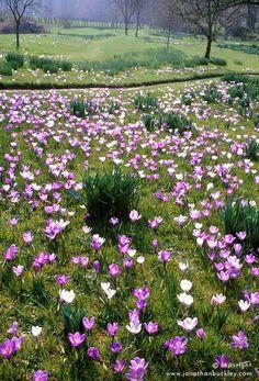 Crocus vernus naturalised in the meadow at Great Dixter