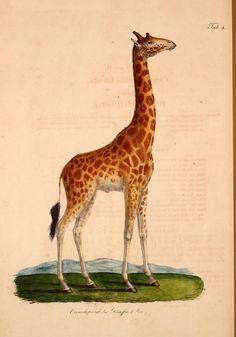 Atlas zu der Reise im nördlichen Afrika /. Frankfurt am Main :Gedruckt und in Commission bei Heinr. Ludw. Brönner,1826-1828.. biodiversitylibrary.org/page/37140562